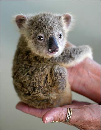 Cute baby koala - photo#19