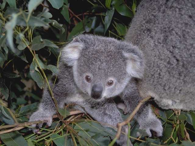 Today: OMG! Baby koalas! - On Tap for Today
